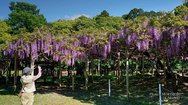 宮崎神宮のフジの花(ノダフジ)6