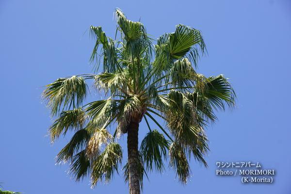 ワシントニアパームの葉