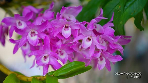 花桃の木に着生したデンドロビウム
