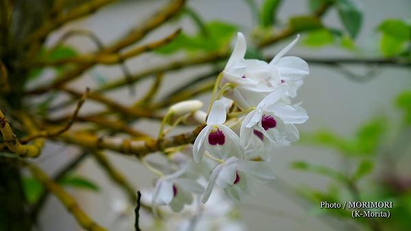 紫木蓮の木に着生したデンドロビウム