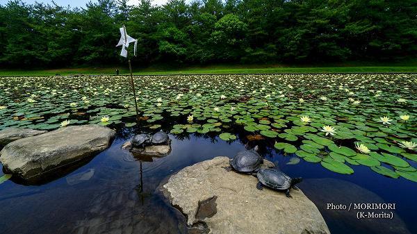 宮崎市みそぎ池の睡蓮(スイレン) 御幣と亀 2020年 1