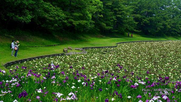 宮崎市みそぎ池の睡蓮(スイレン)2020年 4