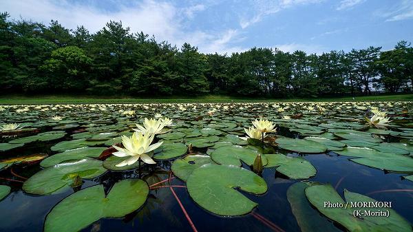 宮崎市みそぎ池の睡蓮(スイレン)2020年 5