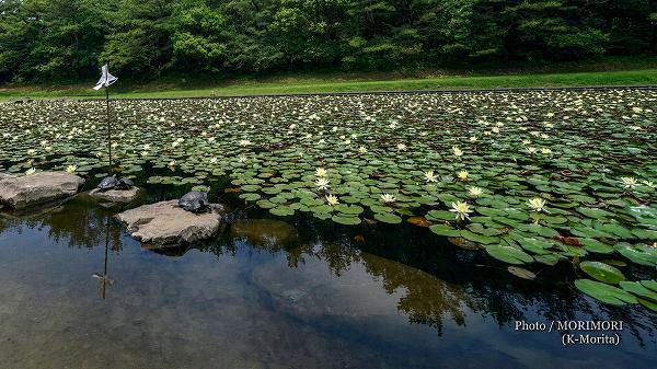 宮崎市みそぎ池の睡蓮(スイレン)と亀 2020年 9