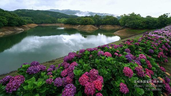 宮崎県国富町 籾木池のアジサイ(堤防道路にて)