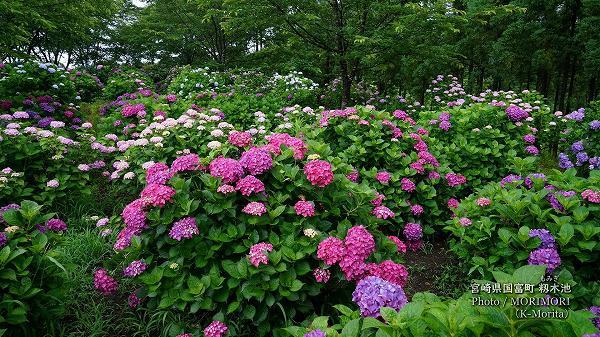 宮崎県国富町 籾木池のアジサイ(駐車場近くの群落)