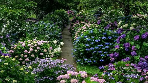 宮崎県国富町 里山ガーデンのアジサイ