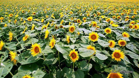 高鍋 染ヶ岡 ひまわり畑(日本一の規模)