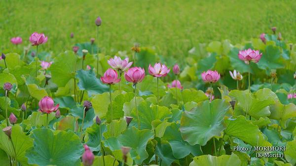 ハスの花の写真 3(SEL200600G)