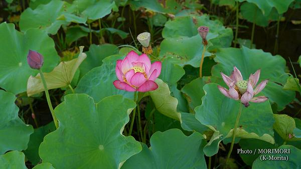ハスの花の写真 5(SEL50F14Z)