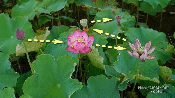 ハスの花の写真 5a(SEL50F14Z)
