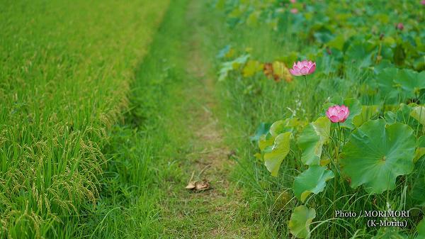 ハスの花の写真 7(SEL50F14Z)