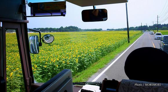 きゃべつ畑のひまわり祭り シャトルバスからの眺め