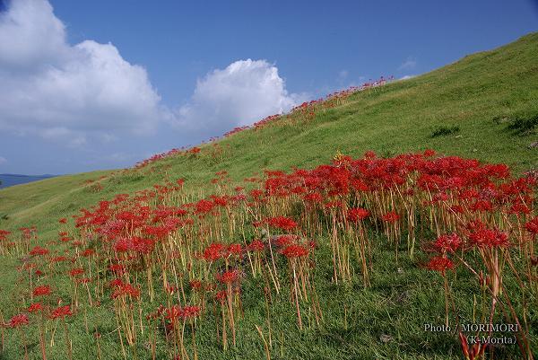 都井岬の彼岸花