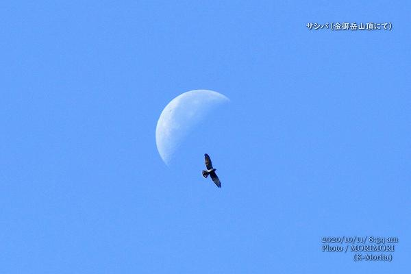 月とサシバのコラボ(金御岳山頂にて)