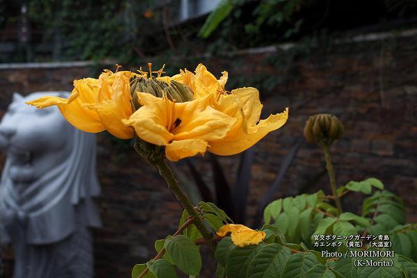 カエンボク 黄色花