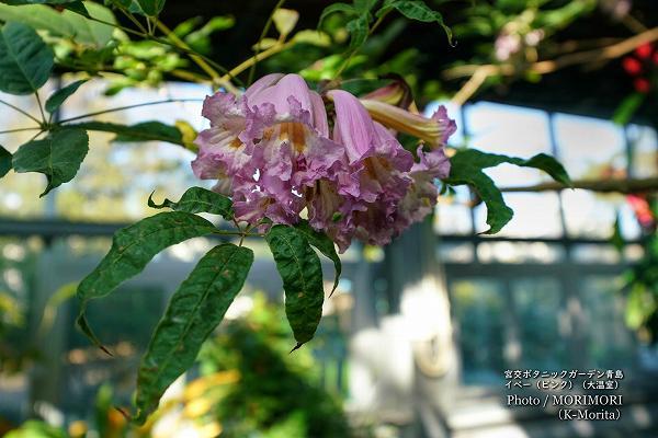 イペー ピンクの花