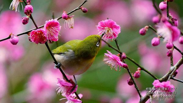紅梅(桃色系)とメジロ 青島自然休養村 好隣梅にて