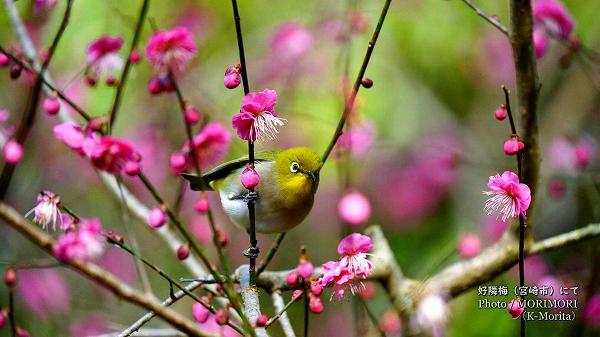 紅梅とメジロ 青島自然休養村 好隣梅にて 8