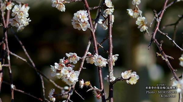 梅はシダレの白花