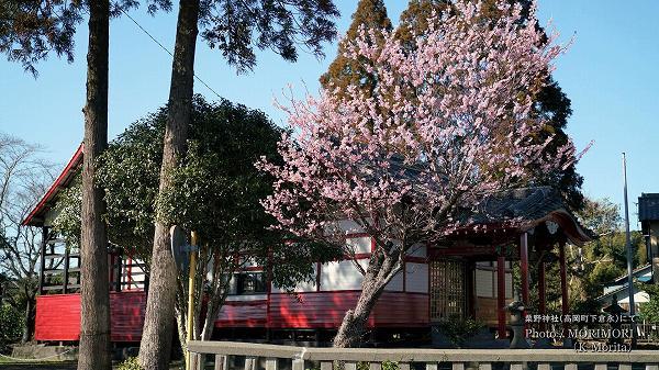 粟野神社と早咲き桜(河津桜?)