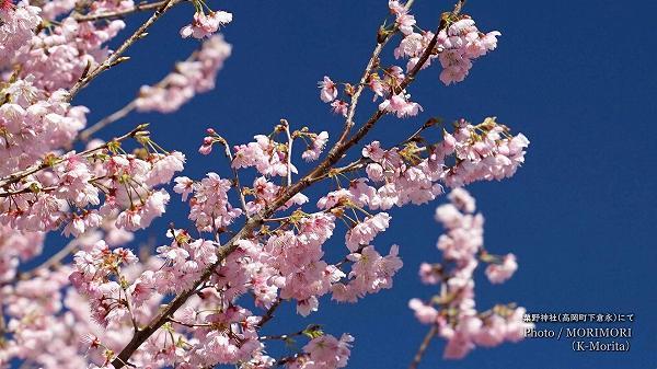 粟野神社の早咲き桜(河津桜?)