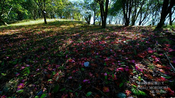 落ちても美しい椿 椿山森林公園(宮崎市)にて