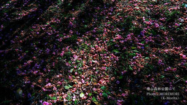 椿の絨毯 椿山森林公園(宮崎市)にて