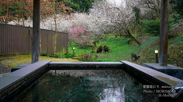 露天風呂と梅 (都城市 常盤荘にて)