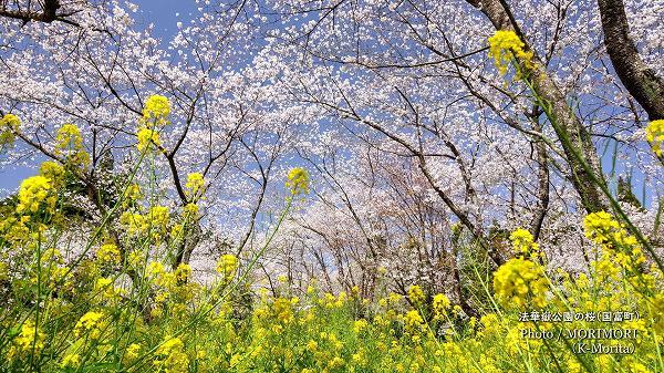 法華嶽公園の桜と菜の花