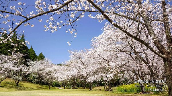 法華嶽公園の桜