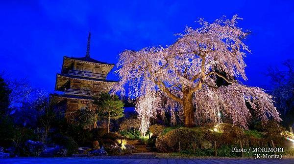 浄専寺のしだれ桜 夜桜 ライトアップ