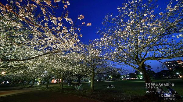 宮崎県総合文化公園の夜桜ライトアップ