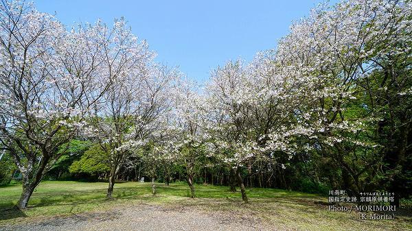 宗麟原(川南町)に咲く桜