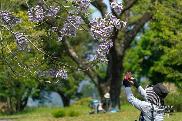 桐の花(西都原古墳群)