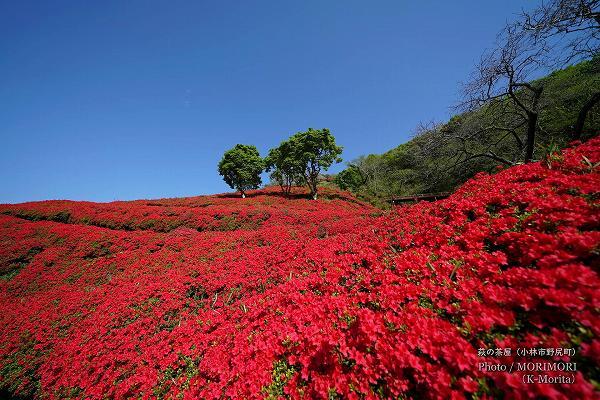 ツツジの絨毯(萩の茶屋)
