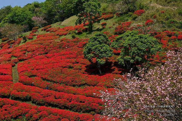 八重桜とツツジ(萩の茶屋)