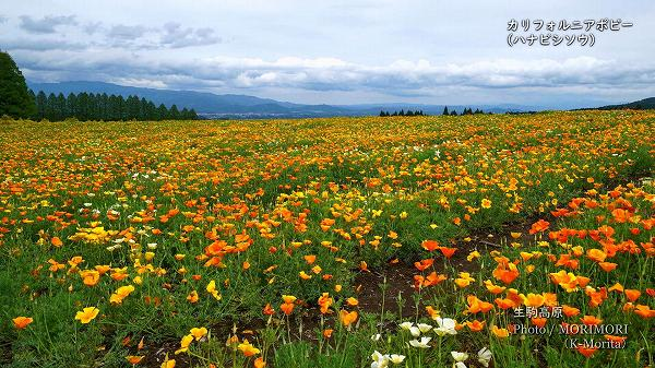 生駒高原 カリフォルニアポピー(ハナビシソウ)