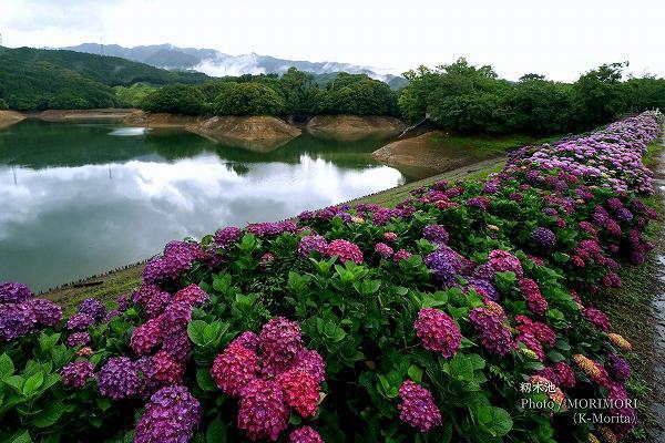 籾木池のアジサイ