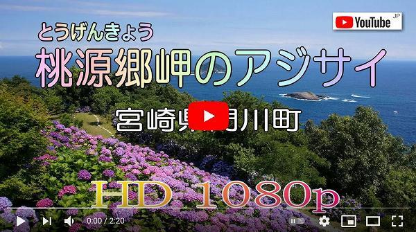動画 youtube_桃源郷岬のアジサイ(宮崎県門川町)