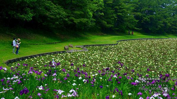 阿波岐原森林公園 みそぎ池 スイレンとハナショウブ