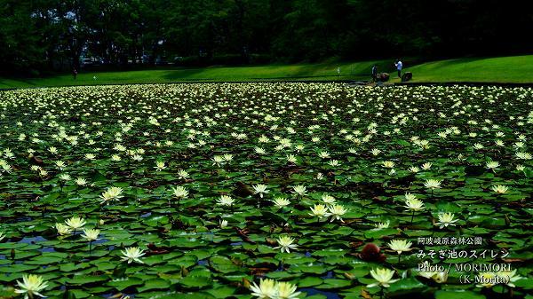 阿波岐原森林公園 みそぎ池 スイレン