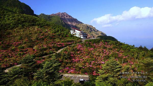 仁田峠のミヤマキリシマ