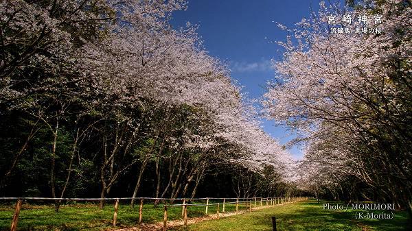 宮崎神宮 流鏑馬馬場の桜