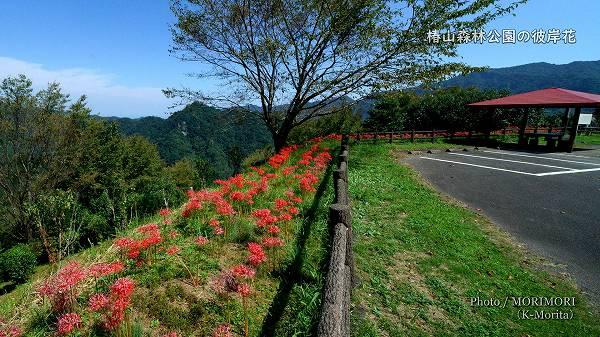 椿山森林公園 駐車場の彼岸花