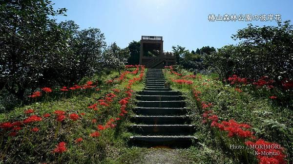 椿山森林公園 展望台付近の彼岸花